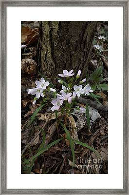 Spring Beauty Framed Print by Sara  Raber