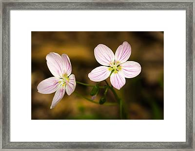 Spring Beauty Framed Print by Thomas Pettengill