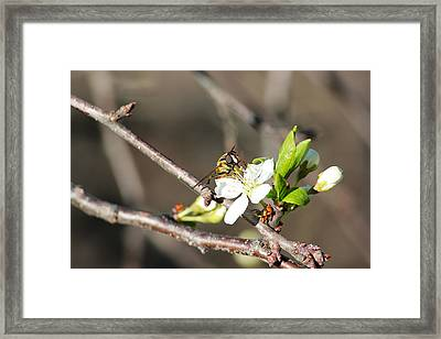 Framed Print featuring the photograph Spring Bee On Apple Tree Blossom by Ryan Crouse