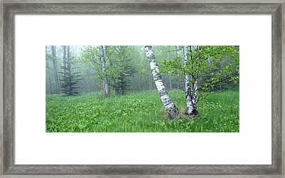 Spring Birch Framed Print by Bill Morgenstern