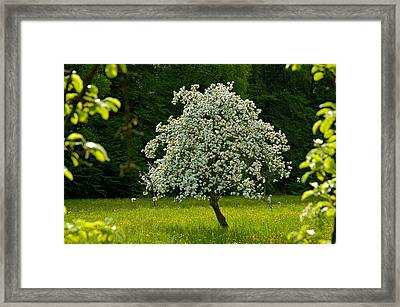 Spring - Blooming Apple Tree And Green Meadow Framed Print