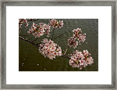 Spring Blossoms Framed Print by Kathi Isserman