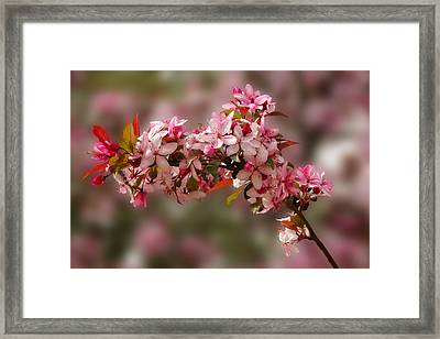 Cheery Cherry Blossoms Framed Print
