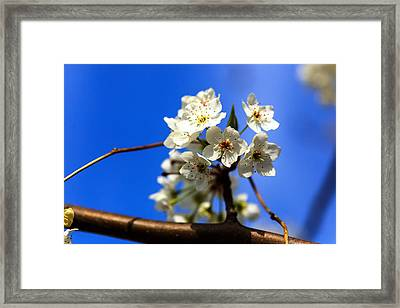 Spring Blossoms Framed Print by Sennie Pierson