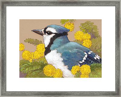 Blue Jay In The Mimosa Tree Framed Print by Tracie Thompson