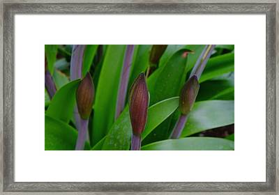 Spring Buds Amaryllis Framed Print