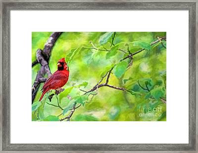 Spring Cardinal Framed Print by Darren Fisher