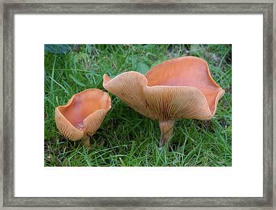 Spring Cavalier Fungus Framed Print by Nigel Downer