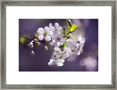 Spring Cherry Tree Close Up Framed Print