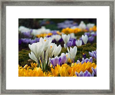 Framed Print featuring the photograph Spring Crocus by Dianne Cowen