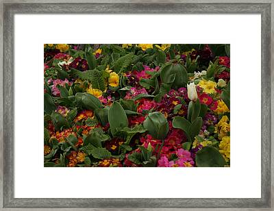 Spring Colour IIi Framed Print by Maeve O Connell