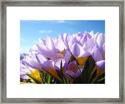 Spring Crocus Flowers Art Photography Prints Framed Print by Baslee Troutman