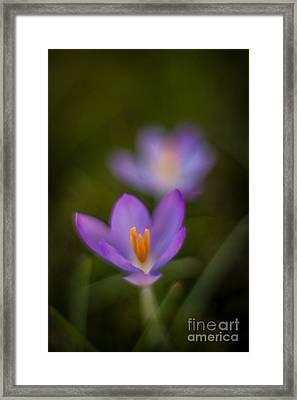 Spring Crocus Glow Framed Print by Mike Reid