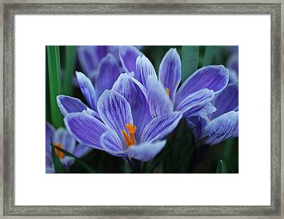 Spring Crocus Framed Print by Julie Andel