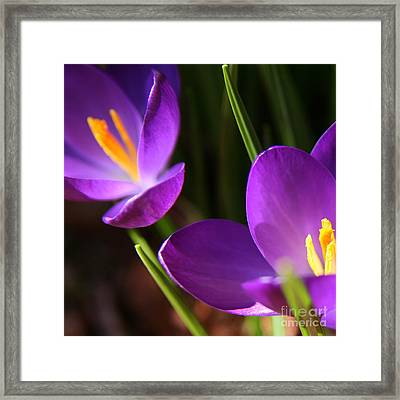 Spring Crocus Pair  Framed Print