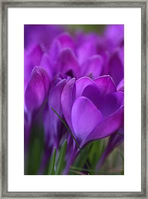 Spring Crocuses Framed Print by Peggy Collins