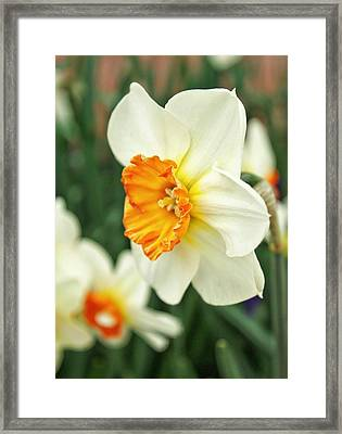 Spring Daffodil Framed Print by Cathie Tyler