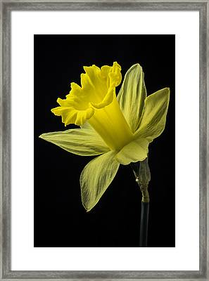 Spring Daffodil  Framed Print by Garry Gay