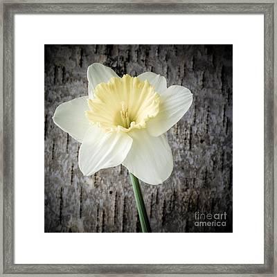 Spring Daffodil Square Framed Print by Edward Fielding