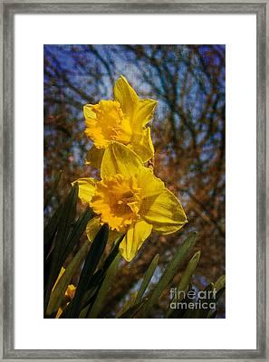 Spring Daffodils  Framed Print by Brian Roscorla