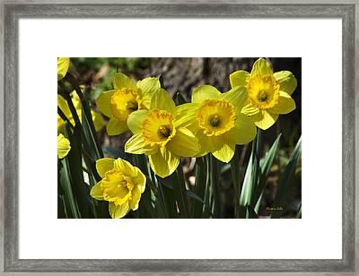 Spring Daffodils Framed Print by Christina Rollo