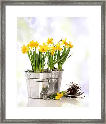 Spring Daffodils Framed Print by Amanda Elwell