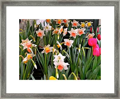 Framed Print featuring the photograph Spring Daffodils by Ira Shander