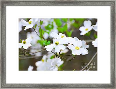 Spring Dogwoods Framed Print by Stuart Mcdaniel