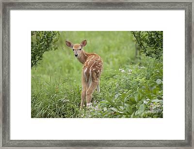 Spring Fawn Framed Print by Jeannette Hunt