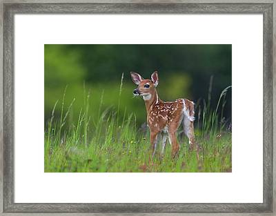 Spring Fawn Framed Print