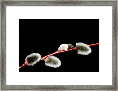 Spring Flowering Branches Of Willow  Framed Print by Tommytechno Sweden