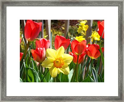 Spring Garden Art Print Red Tulips Daffodils Framed Print by Baslee Troutman