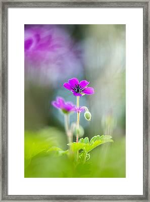 Spring Geranium Framed Print