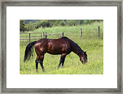 Spring Grazing Framed Print by Susan Leggett