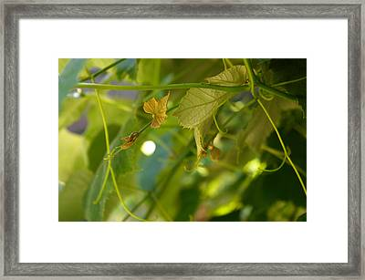 Framed Print featuring the photograph Spring Green Grape Vines by Adria Trail