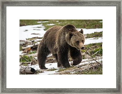 Framed Print featuring the photograph Spring Grizzly Bear by Jack Bell