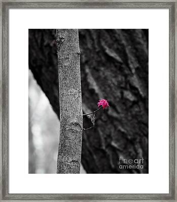 Spring Maple Growth Framed Print