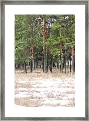 Spring In Pinery Framed Print by Evgeny Pisarev