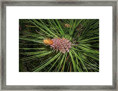 Spring In The Pines Framed Print by The Stone Age