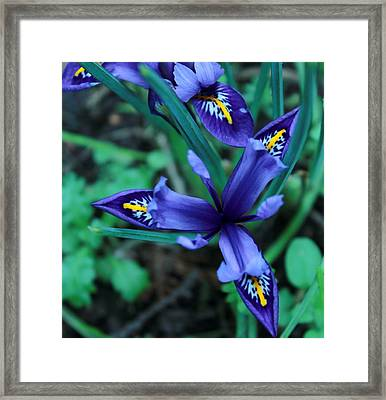 Spring Iris Framed Print by Theresa Selley