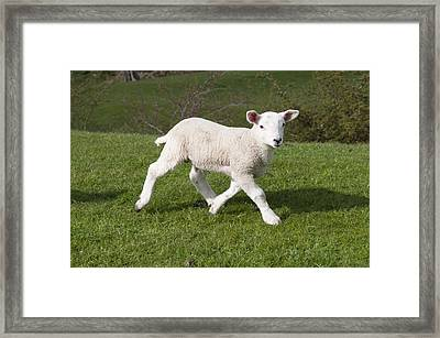 Framed Print featuring the photograph Spring Lamb by David Isaacson