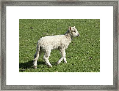 Spring Lamb, Dunedin, Otago, South Framed Print by David Wall