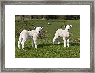 Framed Print featuring the photograph Spring Lambs by David Isaacson