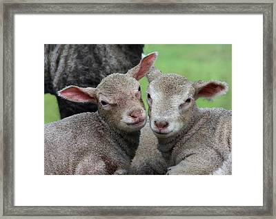Spring Lambs Framed Print by Pete Hemington
