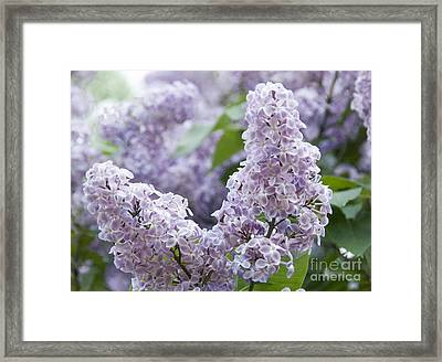 Spring Lilacs In Bloom Framed Print