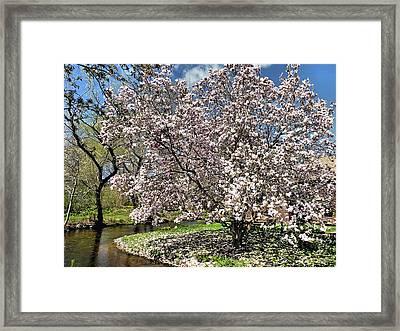 Spring Magnolia Framed Print by Janice Drew