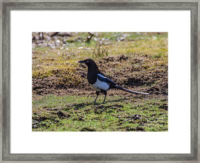 Spring Magpie Framed Print by Mitch Shindelbower