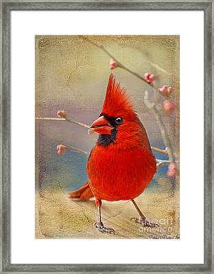 Spring Male Norther Cardinal Framed Print