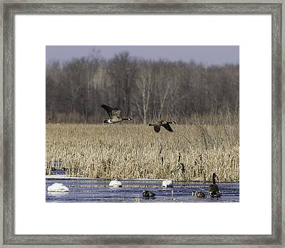 Spring Migration At The Marsh Framed Print by Thomas Young