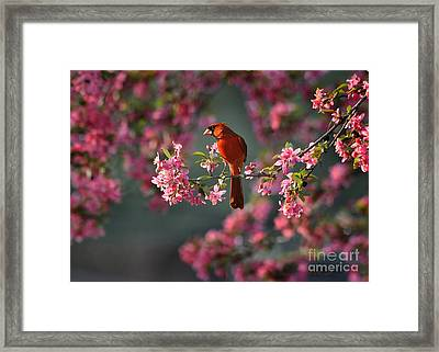 Spring Morning Cardinal Framed Print
